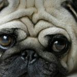 History & Exploitation of the Pug Review